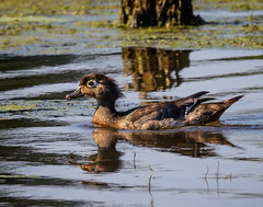 Wood Duck (shooter1229) Tags: bird nature animal outdoors duck wetlands woodduck anatidae aixsponsa heronpark bird20iocreplaceoldbirdlist