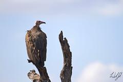 Hooded Vulture- Kruger National Park, South Africa (wsweet321) Tags: africa bird nature southafrica mammal birding safari research endangered krugernationalpark kruger satara bigfive skukuza knp lowersabie