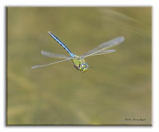 Emperor Dragonfly in flight (Anax imperator)