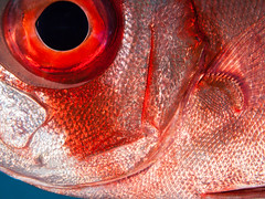 Bigeye ... closer (altsaint) Tags: fish underwater redsea egypt panasonic 45mm hurghada bigeye gf1