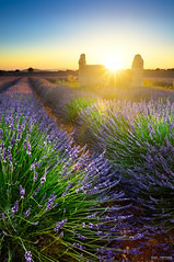 Sunset time on lavender field (Gael F. Photography) Tags: aroma aromatherapy aromatic beautiful beauty bluehour bluesky colored cosmetic countryside dawn daylight field fields flower france french goldenhour hatch horizon july june landscape lavender magenta mauve natural nature outside perfumed picturesque provence purple scent smell summer sunny sunset travel twilights valensole