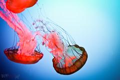 Mduses : art abstrait de la nature (WhiteFlowersFade) Tags: mduse medusa jellyfish animals animaux quebec qubec qubeccity canada aquarium x100 fuji fujifilm nature natural abstract abstrait light lumire vie life art