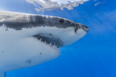 I see you! (George Probst) Tags: shark eye blue closeup water underwater teeth electroreceptors ampullaeoflorenzini sixthsense face ocean mexico baja guadalupe fish greatwhiteshark tiburonblanco weiserhai grandrequinblanc