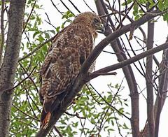 Red Tailed Hawk (kendoman26) Tags: hawk redtailedhawk buteo jamaicensis fuji fujifinepix fujifinepixs1