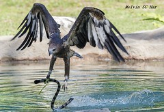The magnificent snatch (melvhsc100) Tags: eager birds water park sky nikon tamron70200mm