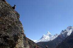 Gmse (Alfesto) Tags: nepal trekking wanderung himalaya khumbuarea sagarmathanationalpark namche tengboche gmse bergziege