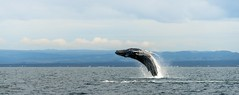 2016-10-11_02-56-56 (halland71) Tags: whale jump iceland sea nature boat sky action adventure