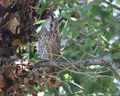 Bufo-pequeno // Long-eared Owl // Asio Otus (Jangada2011) Tags: bufopequeno longearedowl asiootus