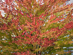 fall colors (heinz41) Tags: epl7 olympus oly25mm fall fallcolors coalharbour vancouver tree