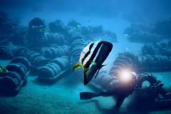 FLA-161001-ND800-8187 (ferlopez) Tags: batfish fish longfinbatfish marinelife plataxteira spadefish underwaterphotography wailea mauihawaii usa