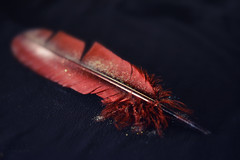 Soft Light (cneumannova) Tags: glitter macro nikon dark shadow feather red black color colors soft light bokeh studio girl cute micro 60mm detail details closeup sensual trend natural