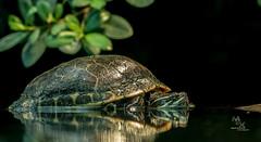 Schildkrte (Marcel de la Croix) Tags: zoo tier natur croix mcx schildkrte