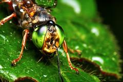 Metallic Bug (Edi Eco) Tags: macro verde nature wet rain bug insect drops eyes chuva olhos gotas inseto folha molhado