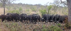 4919_Kruger Hoyo Hoyo watering hole buffalo herd (Chicamguy) Tags: park game birds big buffalo five wildlife safari national giraffes lions elephants kruger baboons zebras leopards