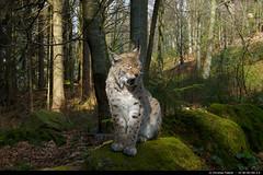 Eurasian Lynx (Lynx lynx) (christian.fiderer) Tags: cat lynx luchs eurasianlynx eurasischerluchs groskatze