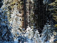 Pocaterra Cross Country Ski Day - Winter woods (benlarhome) Tags: winter canada ski kananaskis rockies crosscountry alberta rockymountain crosscountryski pocaterra