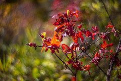 Berry Red (howardpa58) Tags: red leaves berries bokeh petzval paulhowardphotography