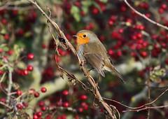 Robin (warren hanratty) Tags: nature robin erithacusrubecula wildlife gloucestershire cotswoldwaterpark cwp shorncotereedbeds warrenhanrattyphotography