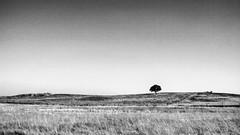 (Miguel.Galvão) Tags: tree portugal miguel branco landscape paisagem preto noise alentejo évora chaparro azinheira galvão