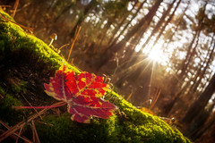 The Light & The Color (Frank C. Grace (Trig Photography)) Tags: autumn sunset sun color fall mushroom leaves forest leaf moss newengland fisheye sunburst acushnet trigphotography frankcgrace