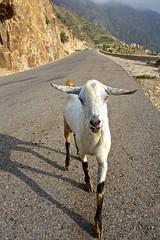 Goats of Yemen (EleanorGiul ~ http://thevelvetrocket.com/) Tags: yemen bura イエメン iémen йемен justinames 也门 arabpeninsula locallifeinyemen goatsofyemen httpthevelvetrocketcom เยเมน