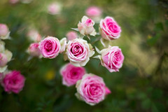 (rosemary*) Tags: pink rose 5d 2014