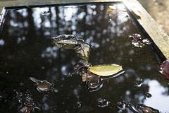 / SONY 7 + M.Rokkor 40mm F2 (mokuu) Tags: leaves puddle fallenleaves