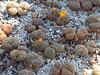 DSCF0371 (BobTravels) Tags: plant stone bob lithops lithop messem bobwitney