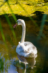 Swan At The Nature Reserve of Prs Sals (Carlos Martn Daz) Tags: france naturereserve francia prssals arcachonbay