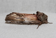 Schizura concinna (Red-humped Caterpillar Moth) Hodges # 8010 (Nick Dean1) Tags: insect washington moth lepidoptera washingtonstate animalia arthropoda everett arthropod hexapod insecta washingtonusa hexapods hexapoda 8010 schizuraconcinna redhumpedcaterpillarmoth southeverett hodges8010