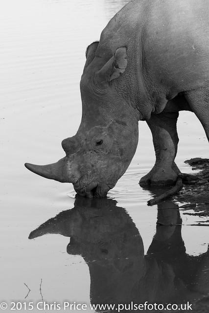 White Rhino, Madikwe Game Reserve