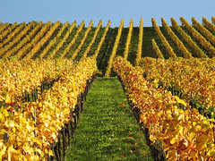 Golden Vineyard (Habub3) Tags: autumn canon germany deutschland vineyard herbst powershot g12 2014 weinberge kernen habub3