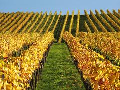 Golden Vineyard (Habub3) Tags: autumn canon germany deutschland vineyard herbst powershot g12 2014 weinberge kernen habub3