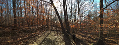 Late Fall Panorama (ChrisWarren1956) Tags: trees panorama fall leaves mystery woods glare path horizon perspective backlit iphone
