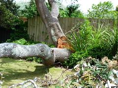 Down came the banksia (Sandy Austin) Tags: newzealand tree auckland fallen northisland banksia hernebay sandyaustin hernebaypetanqueclub panasoniclumixdmcfz40