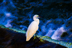 White Heron (satshaug26) Tags: bird photography trichy kallanai