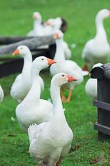 Geese. (taga928s4(Akira.T_JPN)) Tags: green geese goose