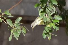 Sun Bird 07 (philjbtorres) Tags: bird yellow photography nikon sunbird yellowbird smallbird yellowbelliedsunbird nikond5100