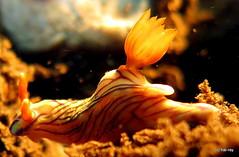 Tulipnudi (Hai-Ray) Tags: bali canon indonesia underwater powershot scubadiving nudibranch indonesien saltwater tauchen unterwasser g17 2015 nacktschnecke salzwasser