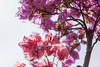 Pinkness [Bali, Indonesia] (Melvinia_) Tags: bali canon indonesia 50mm asia southeastasia bokeh asie indonésie asiedusudest canoneos450d digitalrebelxsi