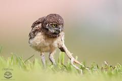 Owlet With Dinner (Megan Lorenz) Tags: wild nature dinner florida killing eating wildlife frog owl prey predator wildanimals burrowingowl owlet mlorenz meganlorenz