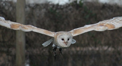 IMG_3405 (AnimalAmanda) Tags: nature birds animals flying wings wildlife flight feathers surrey owl owls birdsofprey falconry lingfield britishwildlifecentre