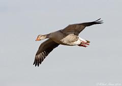 Greylag Goose (Robert Horne Wildlife Photography) Tags: flying geese sweden flight goose anseranser birdinflight greylaggoose vstergtland gooseinflight