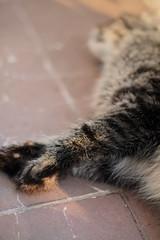paws (deadoll) Tags: cats sunlight cat canon fur 50mm furry kat feline dof tabby 50mm14 gato 7d gata felino neko katze dharma gatto gatti pur crazycatlady 50mmf14 tabbycat canon50mm mustlovecats gatotigrado canon7d 7dcanon