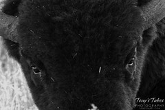 Bison black and white closeup