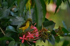 Olive-backed Sunbird (Nectarinia jungularis) (shaneblackfnq) Tags: flower bird beach yellow north australia mossman queensland tropical far tropics bellied sunbird fnq nectarinia olivebacked cooya shaneblack jungularis