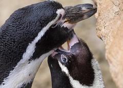 Humboldt Penguins (Spheniscus humboldti) (Annette Rumbelow) Tags: penguins humboldt hugging courting vulnerable courtship longleatsafaripark spheniscus humboldti showingaffection westcoastsouthamerica annetterumbelowwilson longleatgrounds
