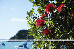 Pohutukawa tree in Russell, NZ (Naomi Rahim (thanks for 2 million hits)) Tags: travel flowers trees red sea newzealand flower beach nature water boats outdoors nikon russell christmastree wanderlust nz northisland bayofislands pohutukawa 2016 travelphotography nikond7000