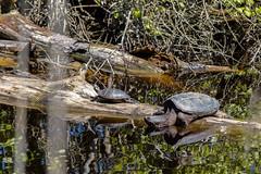 Eastern Painted Turtle & Snapping Turtle (ch.gunkel) Tags: usa nature america virginia turtle wildlife natur va amerika snappingturtle schildkrte chincoteaguenationalwildliferefuge assateaguenationalseashore