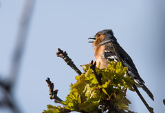 Male Chaffinch in song (Chalto!) Tags: bird singing reserve hampshire finch chaffinch naturalengland needsore